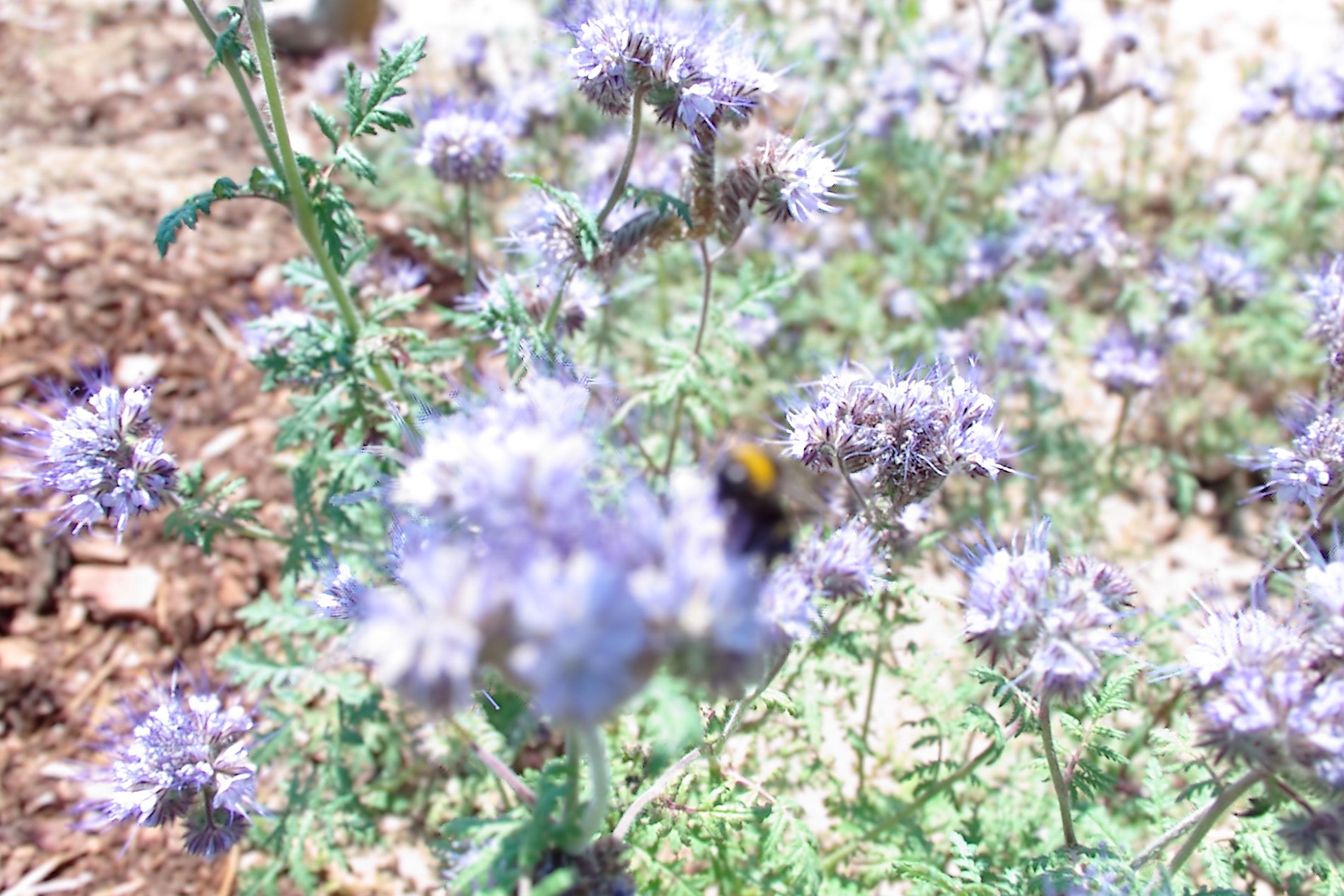 Biene mit Lytro Illum
