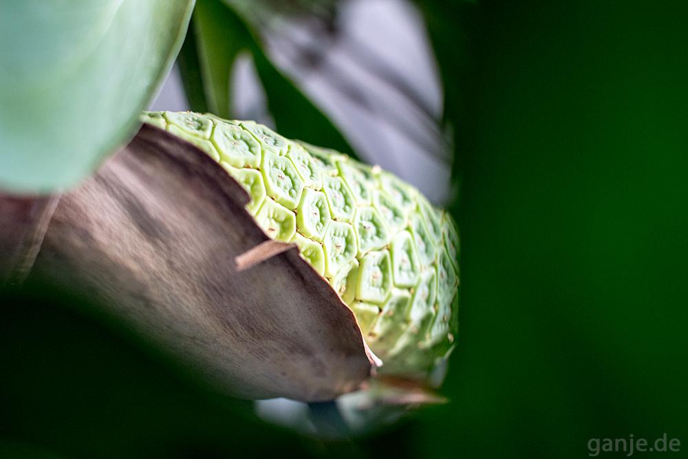 Früchte der Monstera deliciosa (köstliches Fensterblatt)